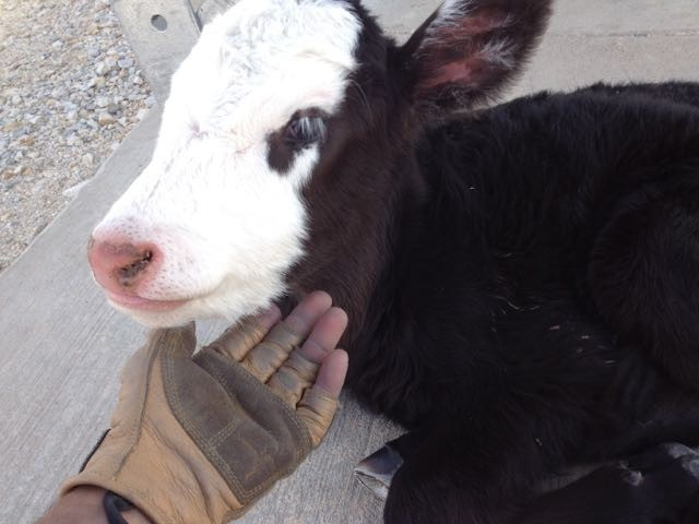 Cow-friendly leather work gloves