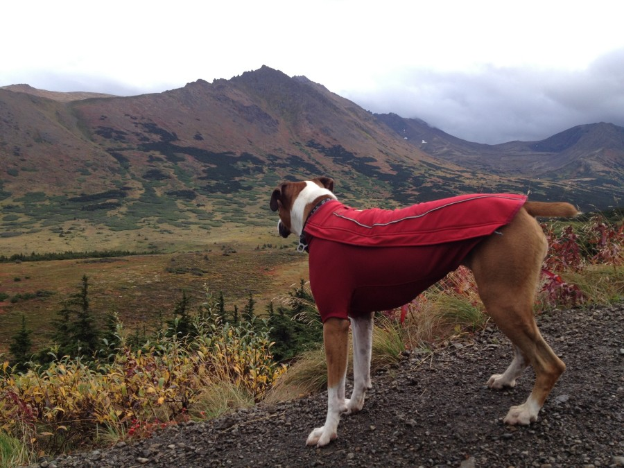 My dog in the chugach